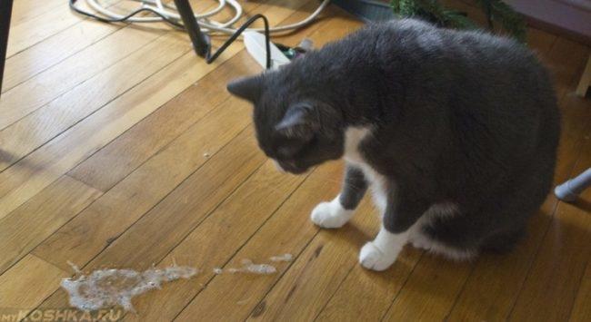 Рвота у серой с белым кошки