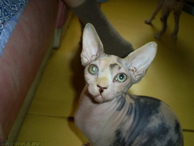 Кот породы сфинкс с большими ушами