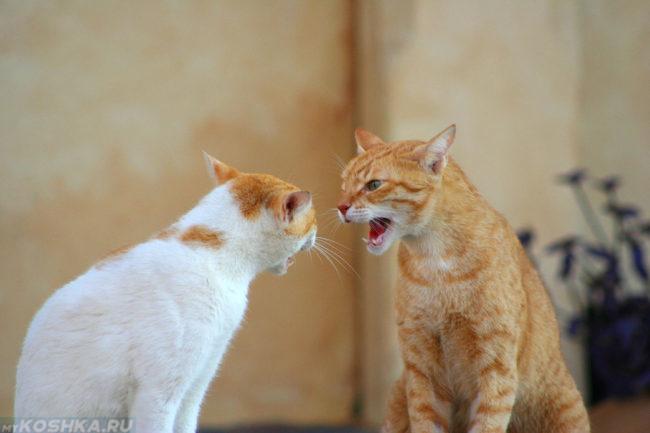 Две кошки шипящие друг на друга