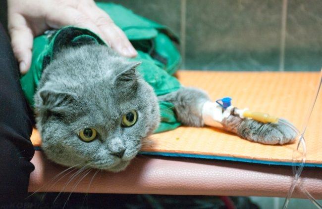 У серой кошки берут кровь
