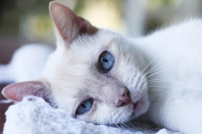 Белый кот с голубыми глазами