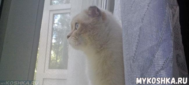 Внешний вид шотландской кошки