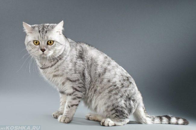 Шотландская порода кошки