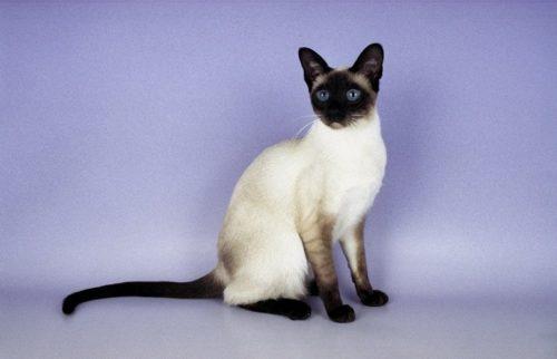 Сиамская кошка на сиреневом фоне