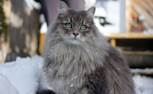 Серая сибирская кошка