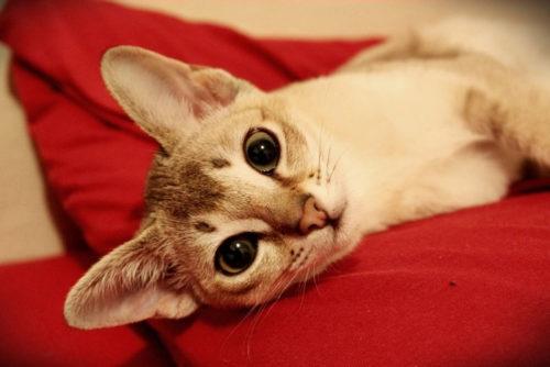 Сингапурская кошка на красной поверхности