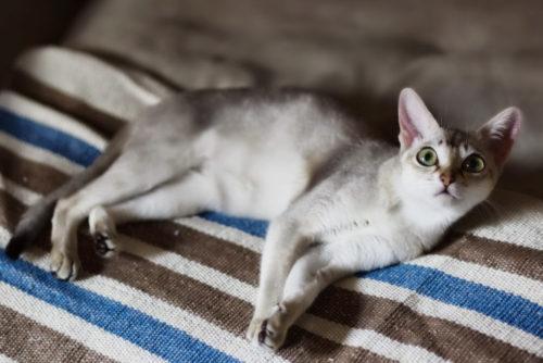 Сингапурская кошка на полосатой ткани