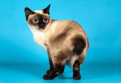 Кошка породы скиф тай дон
