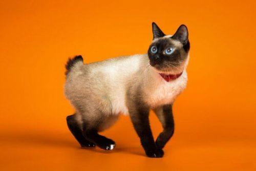 Кошка породы скиф тай дон на оранжевом фоне
