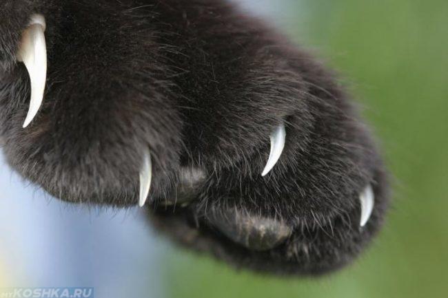 Чёрная лапа кошки с когтями