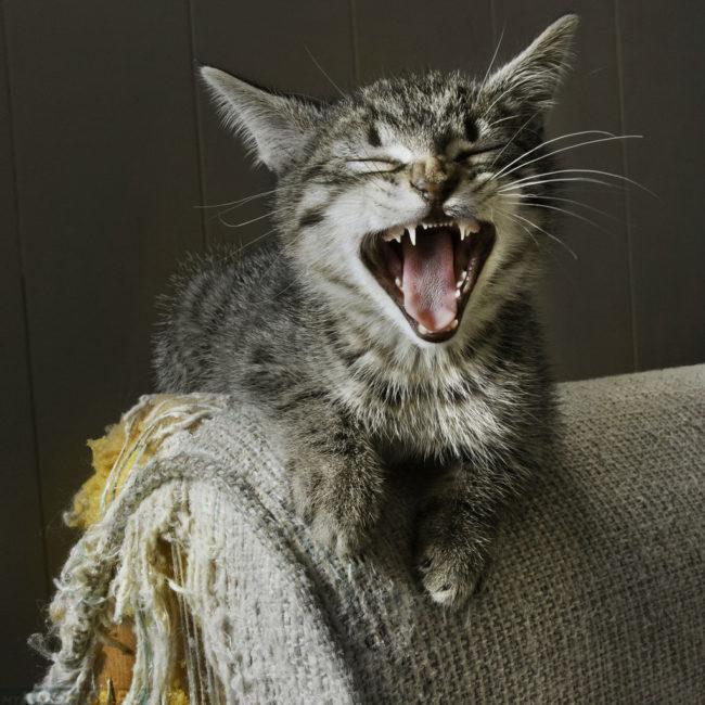 Кошка точит когти об диван