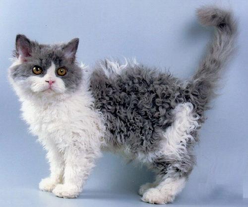 Кошка породы скукум