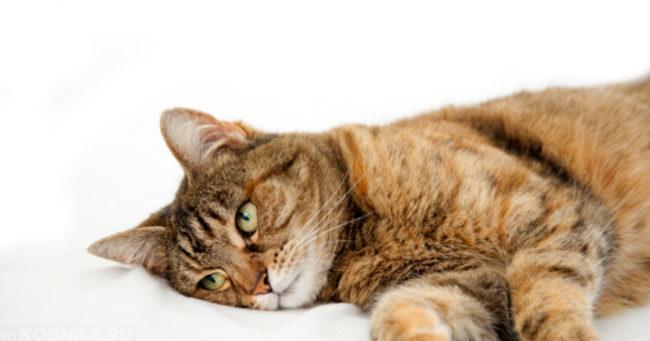 Слабость у кота на белом фоне