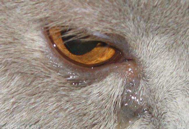 Обильное слезотечение у серого кота