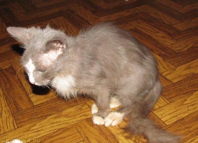 Худой серый кот с белыми лапами