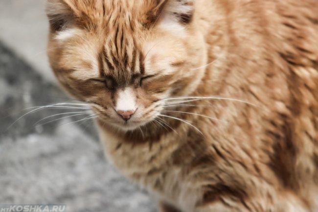 Сонливый рыжий кот с белыми усами