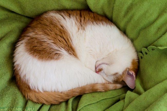 Бело-рыжая кошка спит клубочком спрятав нос