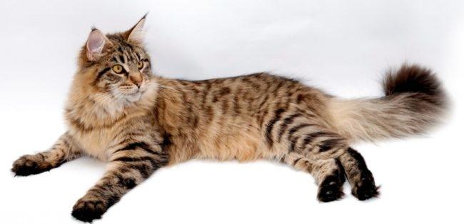 Спокойный кот породы мейн кун