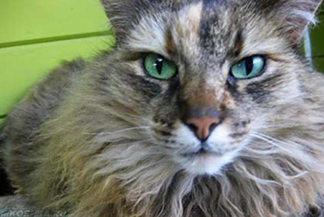 Старая кошка с зелёными глазами