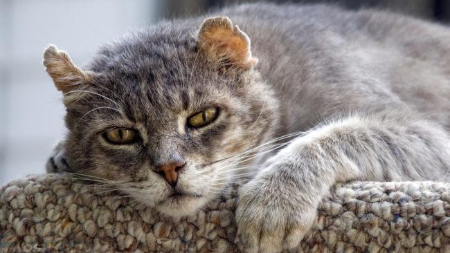 Старый серый кот с белой мордочкой