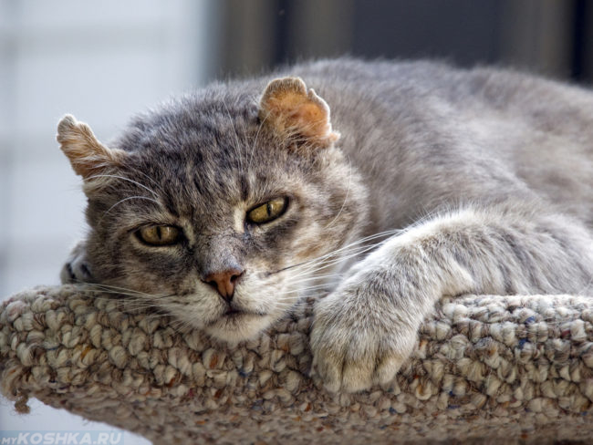 Старый серый кот облокотившийся головой об вязанную поверхность