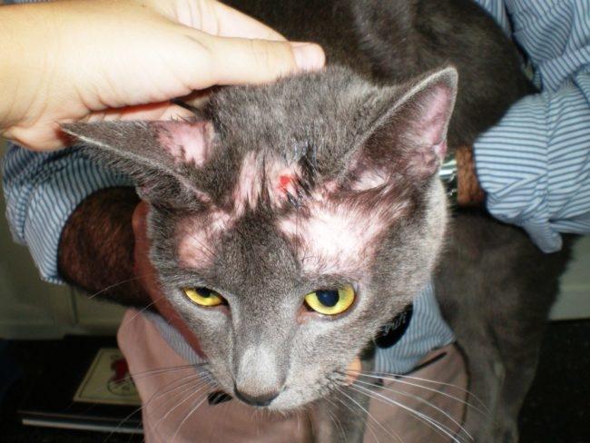 Cтрептодермия у серого кота