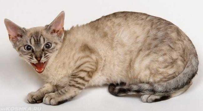 Стресс у серой кошки на белом фоне