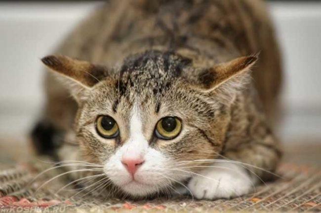 Стресс у кота прижавшегося к полу