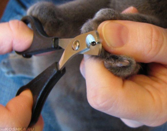 Серому коту стригут когти