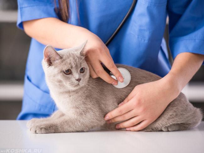 Серый кот на столе у ветеринара прослушиваемый стетоскопом