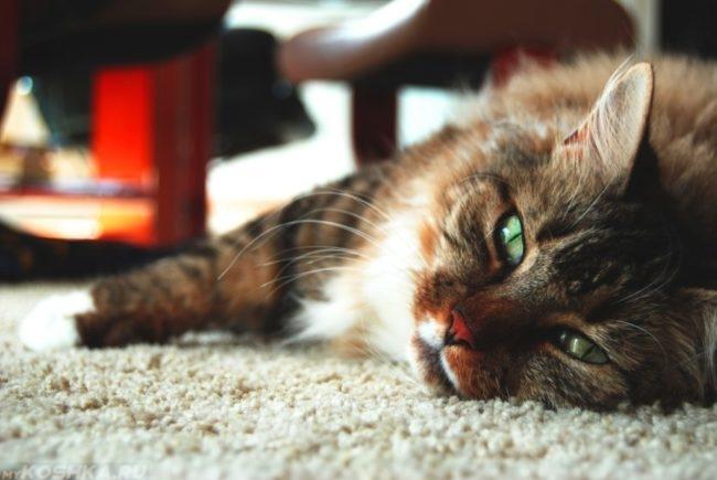 Угнетенная коричневая пушистая кошка на полу