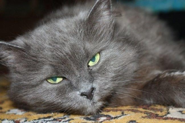 Урчание серого пушистого кота при боли