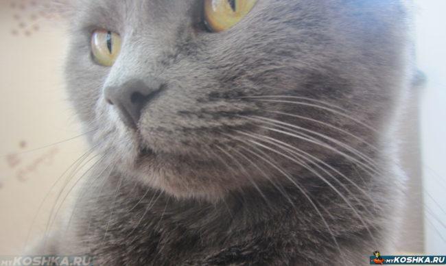 Усы у британской кошки вблизи