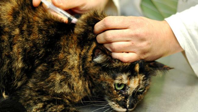 Процедура вакцинации проводимая ветеринаром