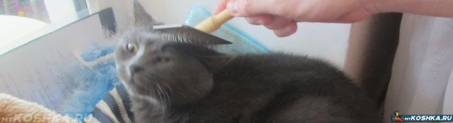 Вычёсывание британской кошки