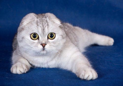 Шотландская вислоухая кошка на синем фоне