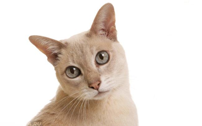 Кошка задумчиво смотрим на человека