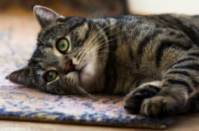 Вялость у полосатого кота
