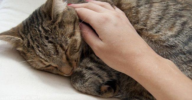 Вялость у кота и рука человека