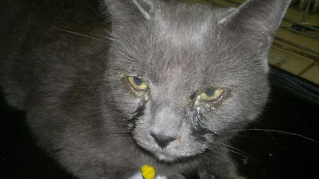 Выделения из глаз у серого кота