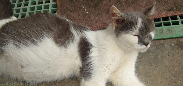 Вздутый живот у кошки