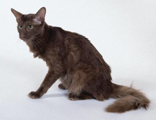 Серый яванский кот