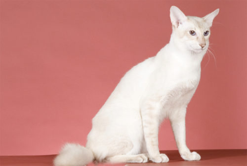 Яванская кошка на розовом фоне