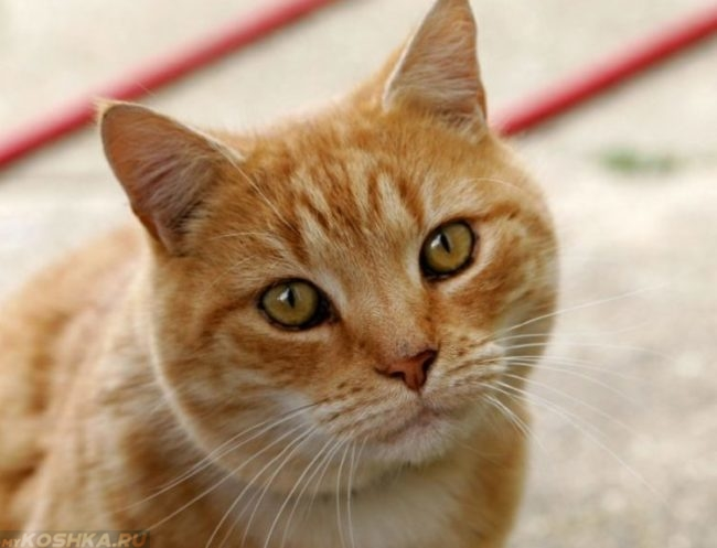 Здоровый рыжий кот с белыми усами