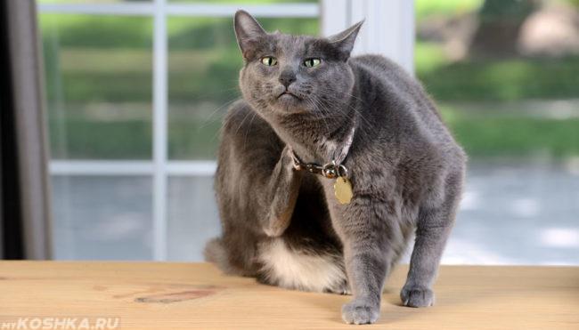 Серый кот чешет себя