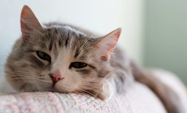 Апатичный кот с розовым носом