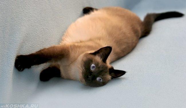 Беременная сиамская кошка