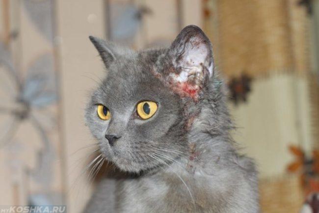 Расчёсанное ухо у серого кота до крови из-за клеща