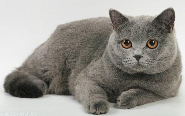 Британский серый короткошёрстный кот