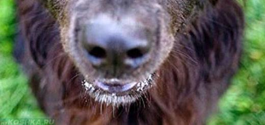 Чумка у собаки на носу